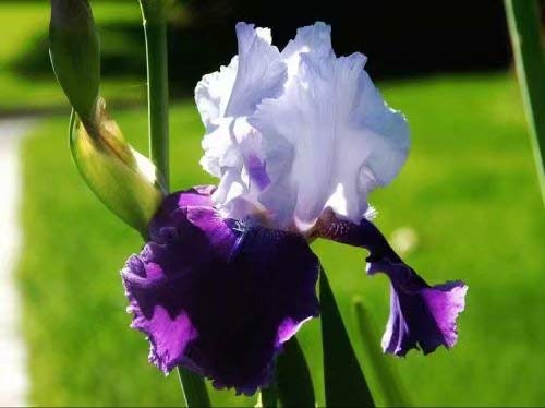 - 2 White and Purple Perennial Iris Bulbs - Perennial Iris Bulbs Fragrant Bearded Iris Flowers