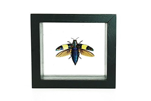Astro Gallery Of Gems Chrysochroa Toulgoeti Beetle in Wooded Box Frame by Astro Gallery Of Gems