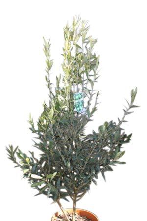 Plantes de jardin - Olea europaea \