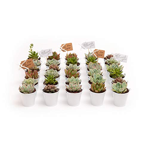 2 in. Wedding Event Rosette Succulents with White Metal Pails and Thank You Tags (30) by Succulent Source (Image #1)