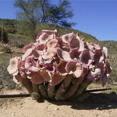 Amazon Com Only 1 Piece Hoodia Gordonii Seed South African