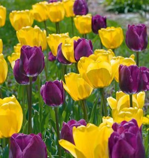 Top 9 best tulip bulbs from amsterdam 2019