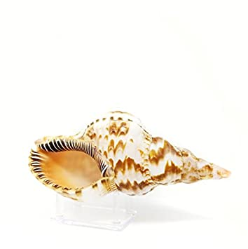 Tumbler Home Large Triton Sea Shell – 8 to 9 inch with Lucite Display Stand – Beach D cor