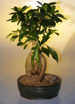 Bonsai Boy's Ginseng Ficus Bonsai Tree - Large Ficus - Ficus Tree Bonsai Retusa