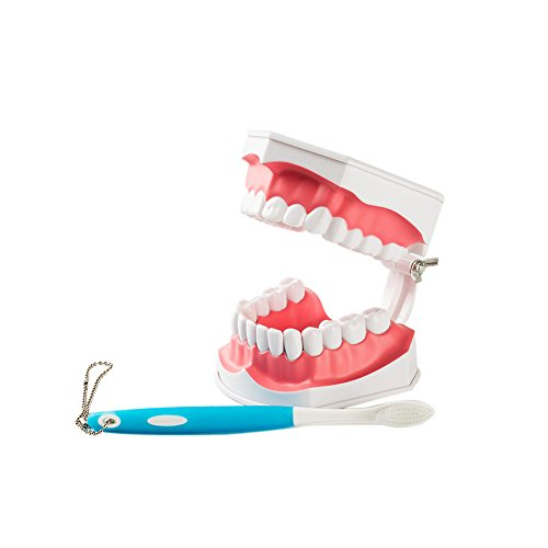 Easyinsmile Large Dental Teeth Model with Removable Lower Teeth Patient and Student Model, tooth model toothbrush color is random