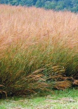 (Indian Grass (Sorghastrum nutans), 400 Certified Pure Live Seed, True Native)
