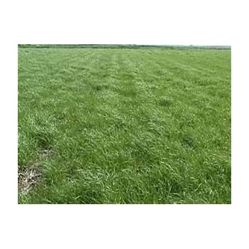 Amazon Com Annual Ryegrass Seed Gulf Diploid 1