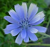 100 Blue Chicory Flower Seeds
