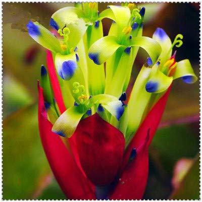 Shopvise 200 Pcs Cactus Bromeliad Rare Colorful Flower Plant Courtyard Mini Plant Succulent DIY Home Garden: 11