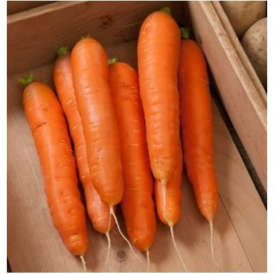 Seeds Carrot Bolero(Orange) 500 Hybrid Seeds : Garden & Outdoor
