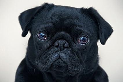 Amazoncom English Bulldog Dog Black Puppy No011068 Poster Art