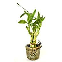 9GreenBox - Live 5 Style Lucky Bamboo Plant Arrangement with Ceramic Panda Vase