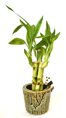 9GreenBox Lucky Bamboo - Ceramic Panda Vase ()