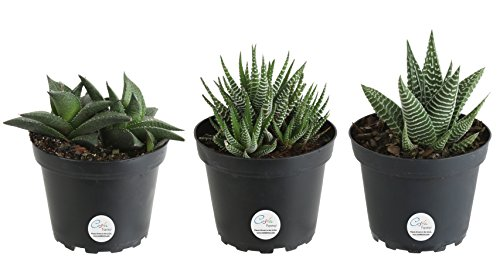 Costa Farms Haworthia Live Succulent Plant, Grower Choice Assortment, Fully Rooted, Ships in 4-Inch Grower Pot, 3-Pack, Fresh From Our Farm