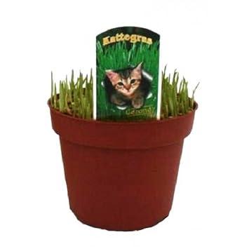 Hierba Gatera Planta Natural en Maceta Hierba para Gatos y Gatitos: Amazon.es: Jardín