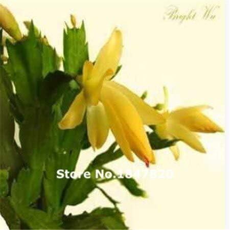 2:100個/ロットSchlumbergera種子、カニサボテン、鉢植え植栽、植栽シーズン、開花植物