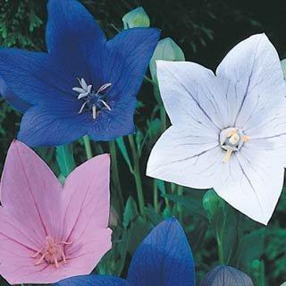 40+ Platycodon Balloon Flower Perennial Flower Seeds Mix (Blue, Pink & White)