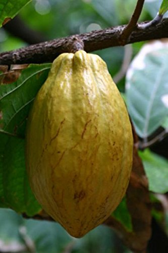 New and Healthy Theobroma Cacao Cocoa Chocolate Fruit Tree - FORASTERO - Potted Plant - Cocoa Fruit