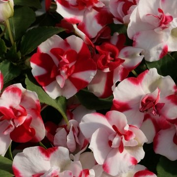 "(AIMA)~""ATHENA RED FLASH"" DOUBLE IMPATIENS-Seeds!~~~~Candy Cane Colors!"