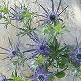 GlobalRose 100 Blue Eryngium Flowers Wholesale