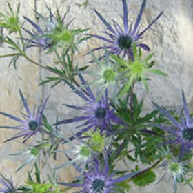 GlobalRose 100 Blue Eryngium Flowers Wholesale by GlobalRose