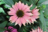 Burpee Echinacea 'Playful Meadow Mama' Coneflower One 4'' Pot