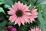 Burpee Echinacea 'Playful Meadow Mama' Coneflower One 4'' Pot