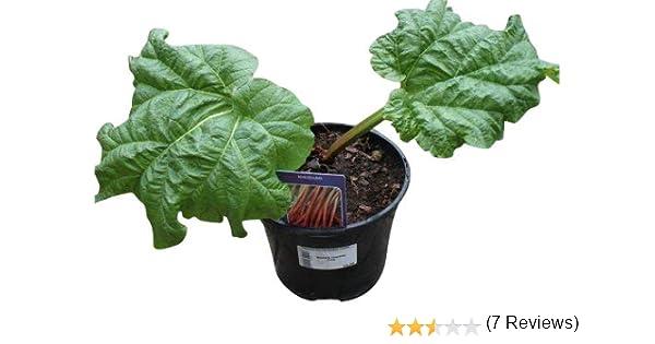 Ruibarbo plantas – glaskins perpetuo rhubarb- raíz maceta en una ...