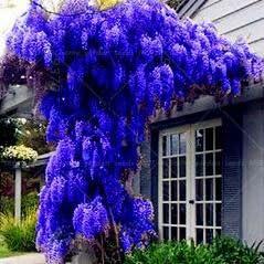 10 semillas / pack. Semillas NUEVO AZUL Wisteria árbol de interior plantas ornamentales Semillas Semillas de flor de las glicinias, hermosa su Gardon: Amazon.es: Jardín