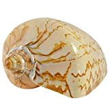 Voluta Nobilis Indo Polished Seashell 5-6""