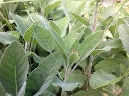 Broadleaf Sage Seeds Perennial 1500 (Broadleaf Sage)