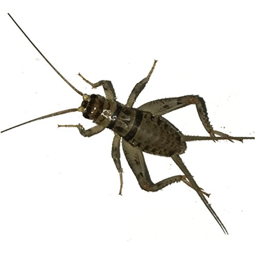 1000 Live Banded Crickets (Medium (1/2