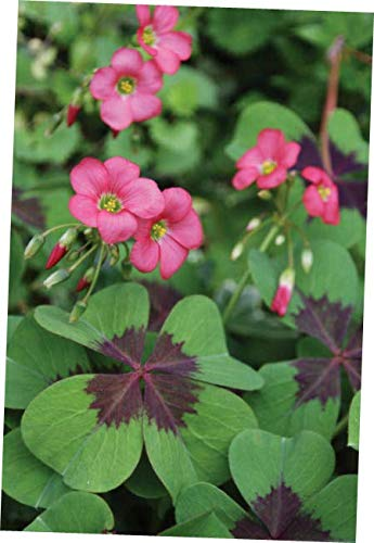 JIYO Perennial 5 Oxalis Iron Cross Bulb Pink Flower Black Green Foliage Summer Bloom - RK164