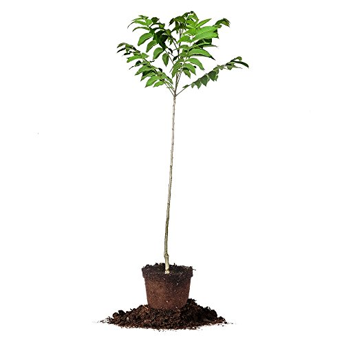 STUART PECAN TREE - Size:  5 Gallon, live plant, includes...