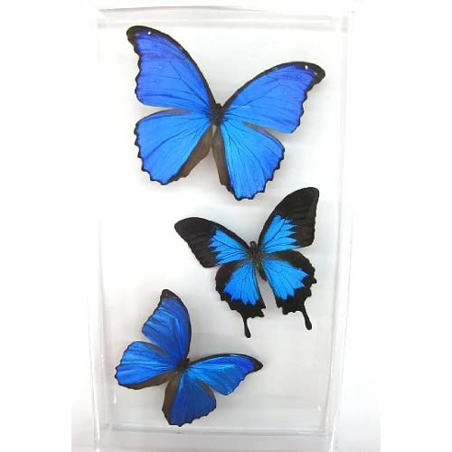 Blue Morpho Butterfly: Amazon.com