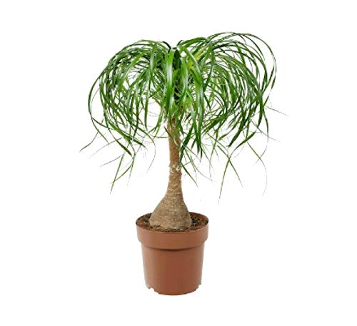 (Guatemalan Red Ponytail Palm Bonsai Tree Beaucarnea 6
