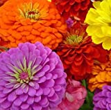 Zinnia California Giant flower Seeds, 8 Oz, 22,000+ seeds