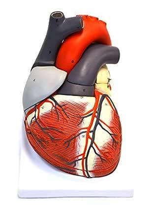 Eisco AM75AS Modelo, Humano, Corazón, 7 Piezas, Extraíble