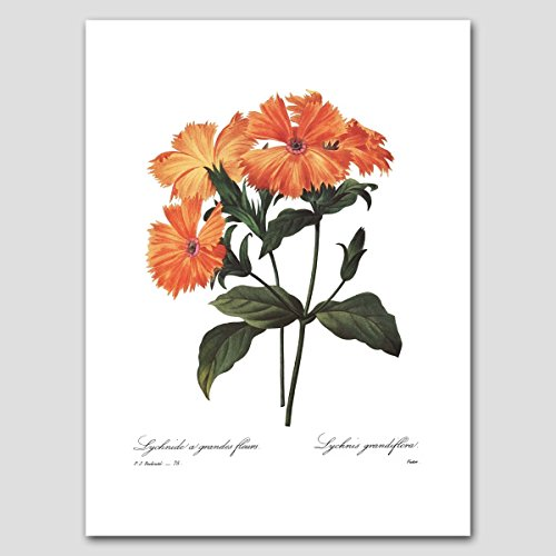 Lychnis Art (Orange Home Decor, Redoute Botanical Flower Artwork) Natural History Print - Unframed