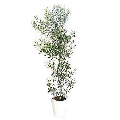 観葉植物のパーフェクトグリーン オリーブの木10号