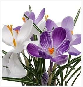 la nave libre de azafrán, semillas de azafrán de la flor, azafrán de azafrán semillas, porque no son los bulbos de azafrán - 20 semillas