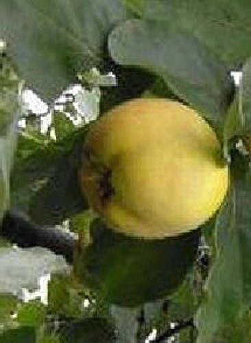 (ANGERS Quince heirloom fruit tree seedling hardy edible Pear Family LIVE)