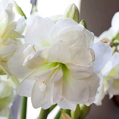 (White Amaryllis Bulbs - 2 Bulbs - Hippeastrum Bulbs Double Blooming Spectacular Flowering Gardening Bonsai Potted)