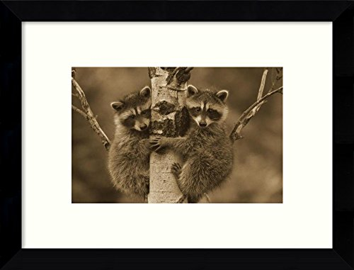 Amanti Art Framed Home Wall Art Prints | Raccoon Two Babies Climbing Tree, North America - Sepia by Tim Fitzharris | Modern Contemporary Decor (Raccoon Framed)