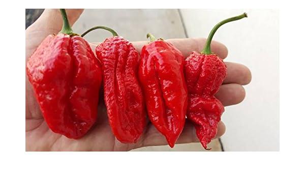 Amazon com : Bhutlah Bubblegum Chile 10+ Seeds : Garden