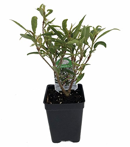Willow Leaf Weeping Fig - Ficus - 2.5