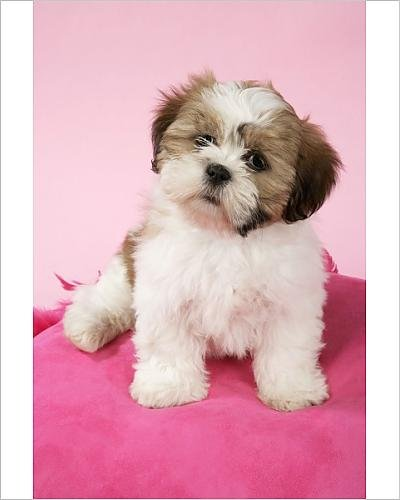 Amazoncom 10x8 Print Of Dog Shih Tzu 10 Week Old Puppy On Pink