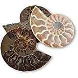 Polished Ammonite Fossil 110 million years old! Stocking Filler / Birthday Gift - Free Postage! by Mystery Mountain
