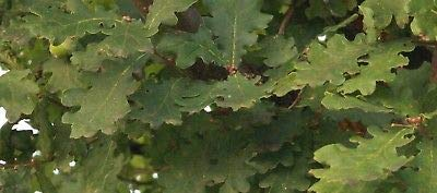 1 Live Plant English Oak Tree Seedling Hardy Live Plant for sale  Delivered anywhere in USA