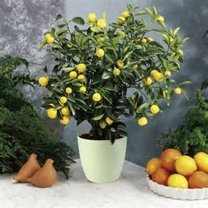Amazon Com Dwarf Meyer Lemon Tree 50 Seeds Produces Healthy